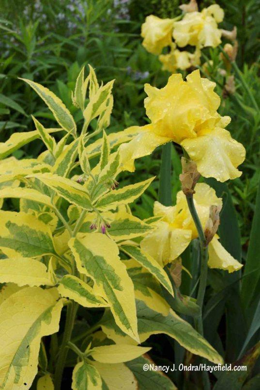 'Axminster Gold' Russian comfrey (Symphytum x uplandicum) with 'Harvest of Memories' hybrid bearded iris [Nancy J. Ondra/Hayefield.com]