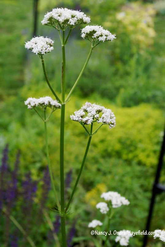 Common valerian (Valeriana officinalis) [Nancy J. Ondra/Hayefield.com]