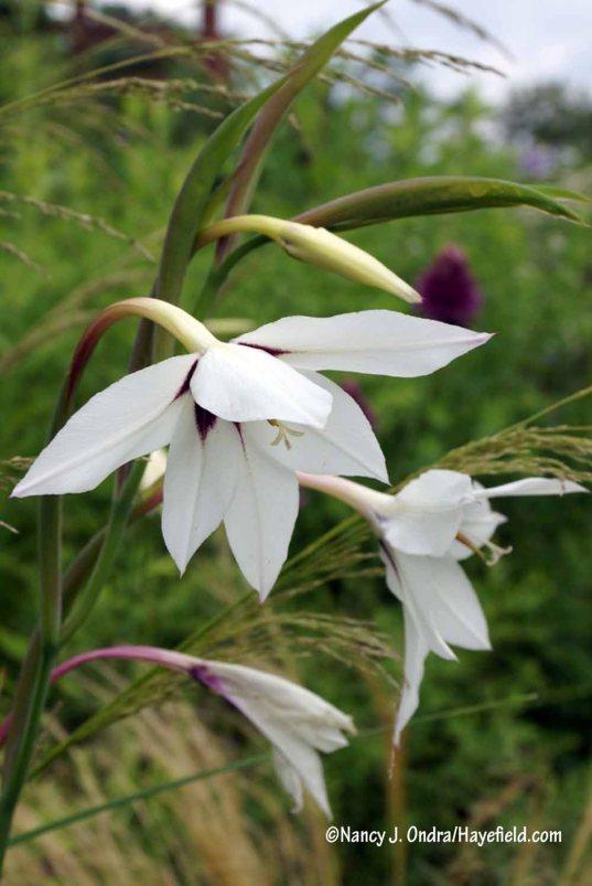 Abyssinian gladiolus (Gladiolus murielae, formerly Acidanthera bicolor) [Nancy J. Ondra/Hayefield.com]