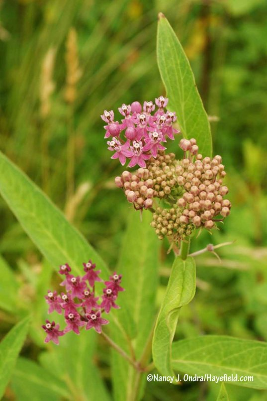 Swamp milkweed (Asclepias incarnata) [Nancy J. Ondra/Hayefield.com]