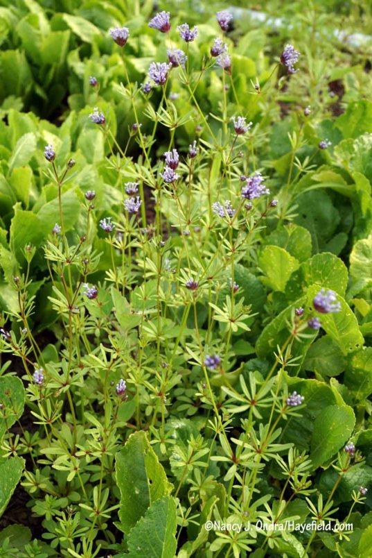 Blue woodruff (Asperula orientalis) [Nancy J. Ondra/Hayefield.com]
