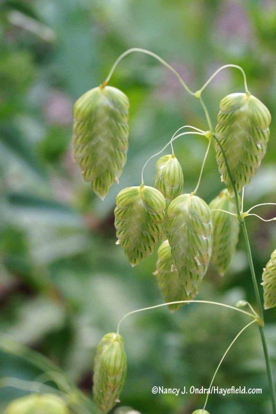 Quaking grass (Briza maxima) [Nancy J. Ondra/Hayefield.com]