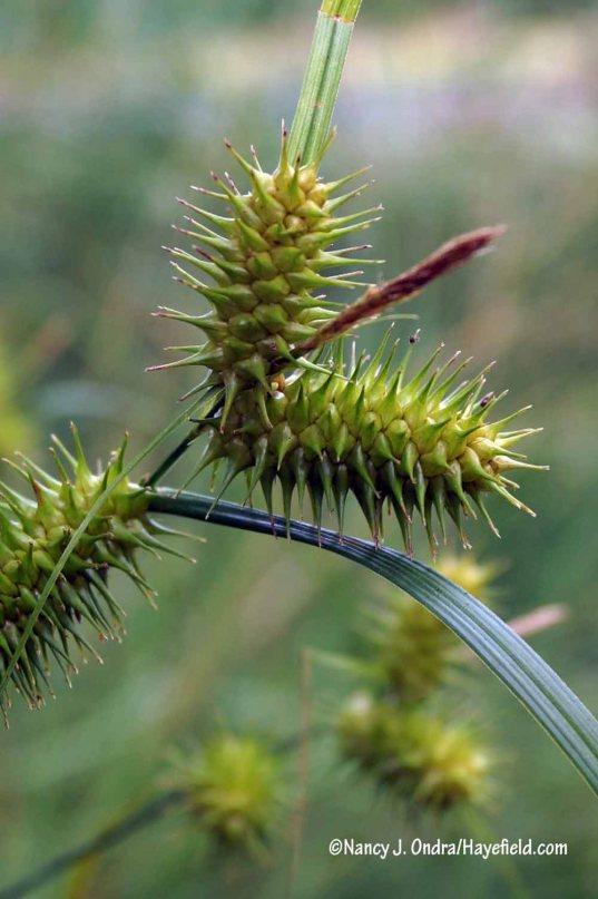 Hop sedge (Carex lupulina) [Nancy J. Ondra/Hayefield.com]