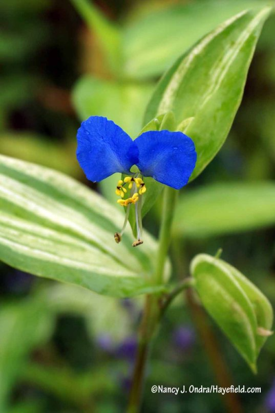 Variegated dayflower (Commelina communis f. aureostriata) [Nancy J. Ondra/Hayefield.com]