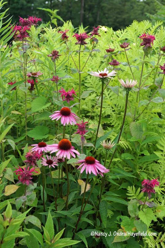 Purple coneflower (Echinacea purpurea) paired with 'Raspberry Wine' bee balm (Monarda) and 'Isla Gold' tansy (Tanacetum vulgare) [Nancy J. Ondra/Hayefield.com]