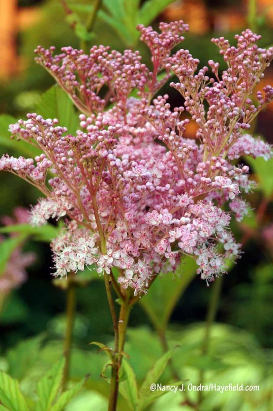 Queen-of-the-prairie (Filipendula rubra) [Nancy J. Ondra/Hayefield.com]