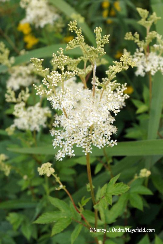 Meadowsweet (Filipendula ulmaria): one of my favorite perennials for fragrance! [Nancy J. Ondra/Hayefield.com]