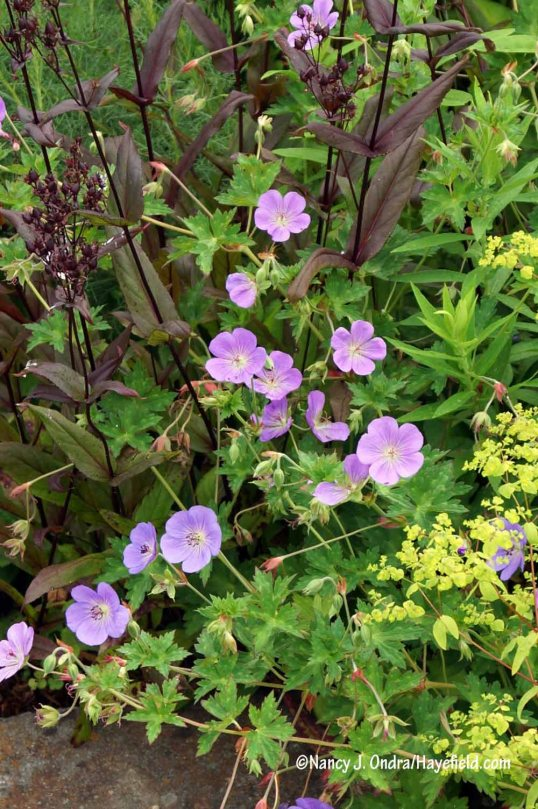 Rozanne geranium (Geranium 'Gerwat') with upright spurge (Euphorbia stricta 'Golden Foam') and 'Dark Towers' beardtongue (Penstemon) [Nancy J. Ondra/Hayefield.com]