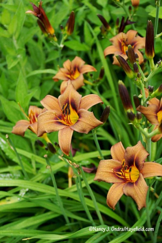 'Milk Chocolate' daylily (Hemerocallis) [Nancy J. Ondra/Hayefield.com]