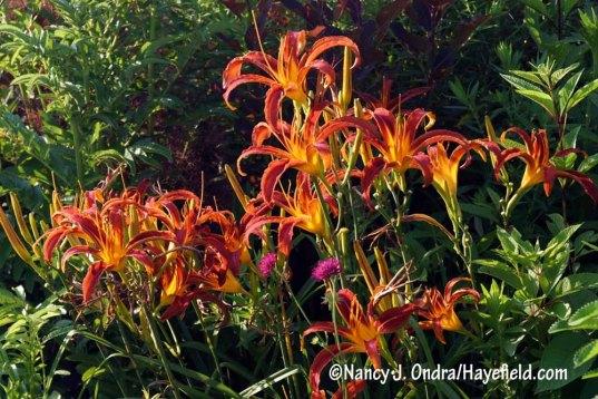 'Nona's Garnet Spider' daylily (Hemerocallis) [Nancy J. Ondra/Hayefield.com]