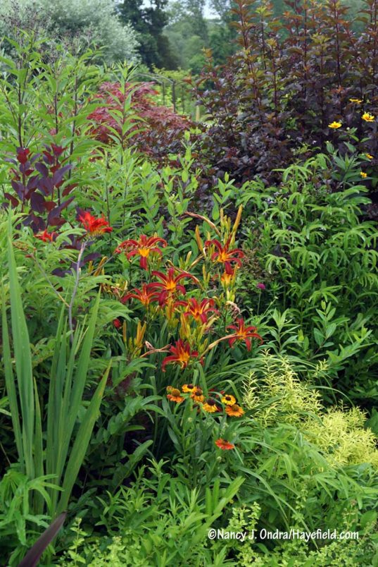 A front-garden vignette with Mellow Yellow spirea (Spiraea thunbergii 'Ogon'), 'Mardi Gras' helenium (Helenium), 'Nona's Garnet Spider' daylily (Hemerocallis), 'Lucifer' crocosmia (Crocosmia), 'Royal Purple' smoke bush (Cotinus coggygria), Diabolo ninebark (Physocarpus opulifolius 'Monlo'), 'Prairie Sunset' oxeye (Heliopsis helianthoides), and Japanese burnet (Sanguisorba tenuifolia) [Nancy J. Ondra/Hayefield.com]