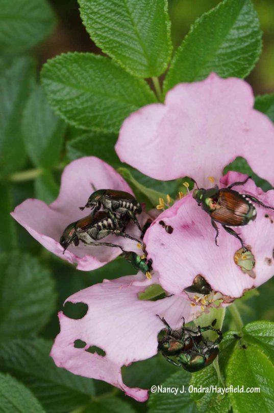 Ah yes...after almost a decade since the last population boom of Japanese beetles around here, they are back in abundance. Any roses that dare to bloom are getting devoured right away. [Nancy J. Ondra/Hayefield.com]