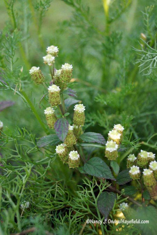 Aztec sweet herb (Lippia dulcis) [Nancy J. Ondra/Hayefield.com]