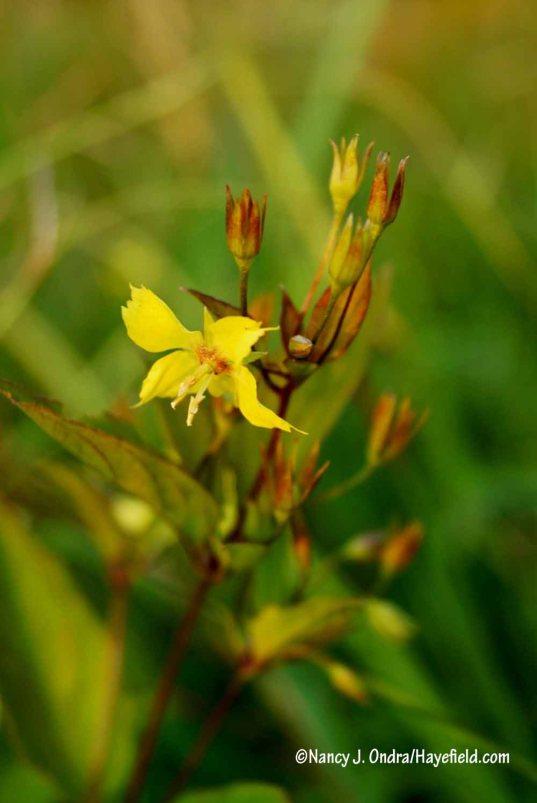 Whorled yellow loosestrife (Lysimachia quadrifolia) [Nancy J. Ondra/Hayefield.com]