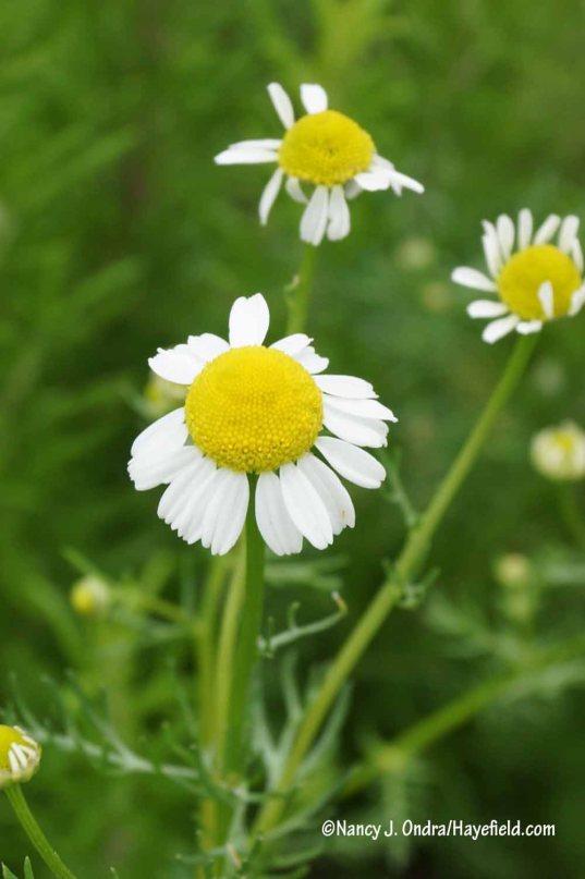 'Zloty Lan' German chamomile (Matricaria recutita) [Nancy J. Ondra/Hayefield.com]