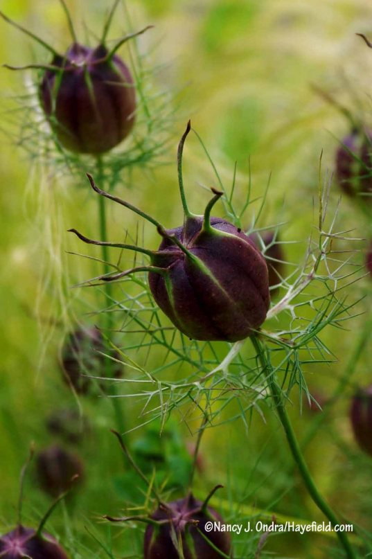 The greens in this shot look kind of funky, but the pods of 'Cramers' Plum' love-in-a-mist (Nigella damascena) really are this dark. [Nancy J. Ondra/Hayefield.com]
