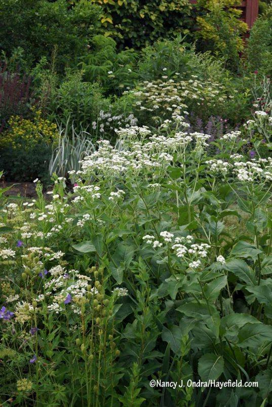 Wild quinine (Parthenium integrifolium) [Nancy J. Ondra/Hayefield.com]