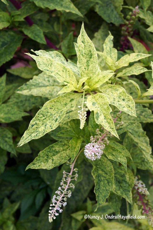 Variegated pokeweed (Phytolacca americana 'Variegata', aka 'Silberstein') [Nancy J. Ondra/Hayefield.com]