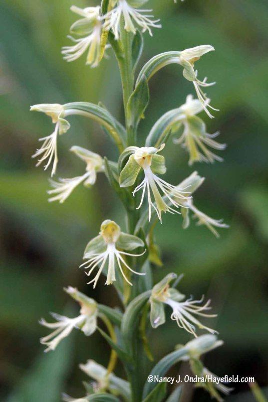 Ragged fringed orchid (Platanthera lacera) [Nancy J. Ondra/Hayefield.com]