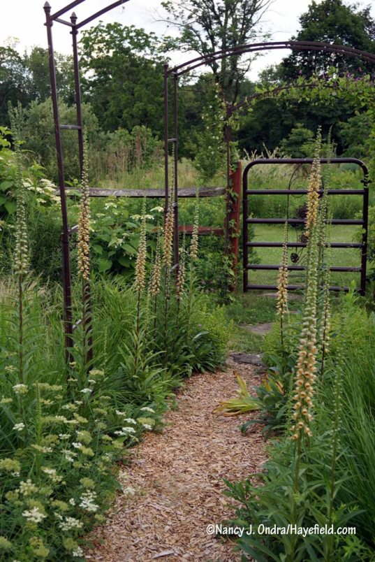 "Well, this was a surprise. I started ""Digitalis grandiflora"" seed a couple years ago, thinking it would be charming to have the low yellow spikes to line this path. When they flowered this year, they turned out to be rusty foxglove (Digitalis ferruginea). They're much taller than I'd envisioned, but otherwise I'm fine with them: the soft orange color is nice, and the flowers are so narrowly upright that they don't block the path. [Nancy J. Ondra/Hayefield.com]"
