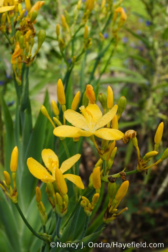'Hello Yellow' blackberry lily (Iris domestica [formerly Belamcanda chinensis]) [Nancy J. Ondra/Hayefield.com]
