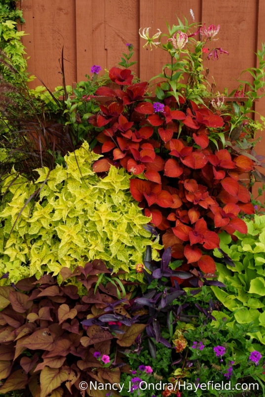 Orangey 'Sedona' used to be my must-have coleus, but I have a new favorite: 'Campfire'. Look at that intense color! Unlike 'Sedona', it is staying a solid orange-red, with no pink tints, in this full-sun planter. Companions here include gloriosa lily (Gloriosa superba), yellow 'Main Street River Walk' coleus, purple queen (Tradescantia pallida 'Purpurea'), and 'Sweet Georgia Heart Red' sweet potato vine (Ipomoea batatas). [Nancy J. Ondra/Hayefield.com]