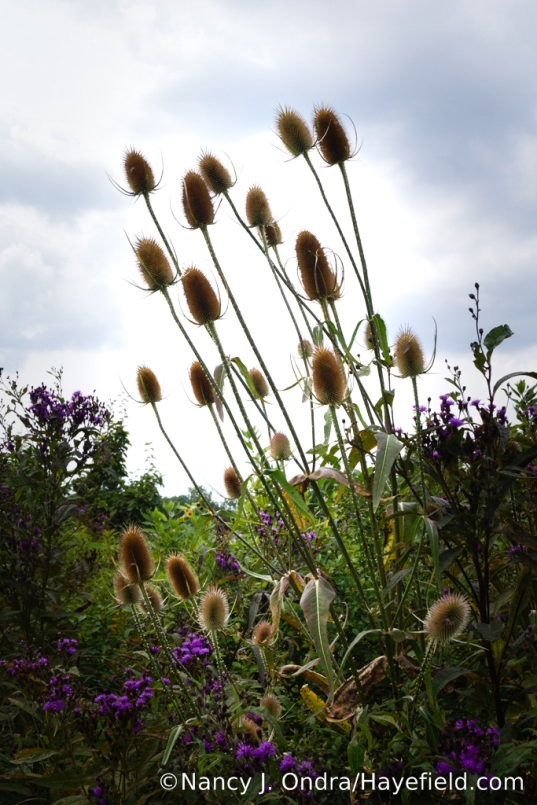 Fuller's teasel (Dipsacus fullonum) in the lower meadow [Nancy J. Ondra/Hayefield.com]