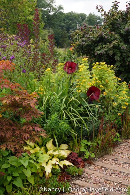 In the front garden (highlights from lower left): 'Sun Power' hosta, Japanese maple (Acer palmatum), 'Heartthrob' hibiscus, orange coneflower (Rudbeckia fulgida var. fulgida), 'Isla Gold' tansy (Tanacetum vulgare), 'Royal Purple' smokebush (Cotinus coggygria), and 'Red Majestic' contorted hazel (Corylus avellana) [Nancy J. Ondra/Hayefield.com]