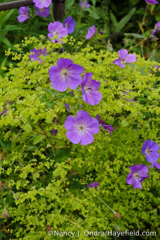 Rozanne geranium (Geranium 'Gerwat') with upright spurge (Euphorbia stricta 'Golden Foam') [Nancy J. Ondra/Hayefield.com]