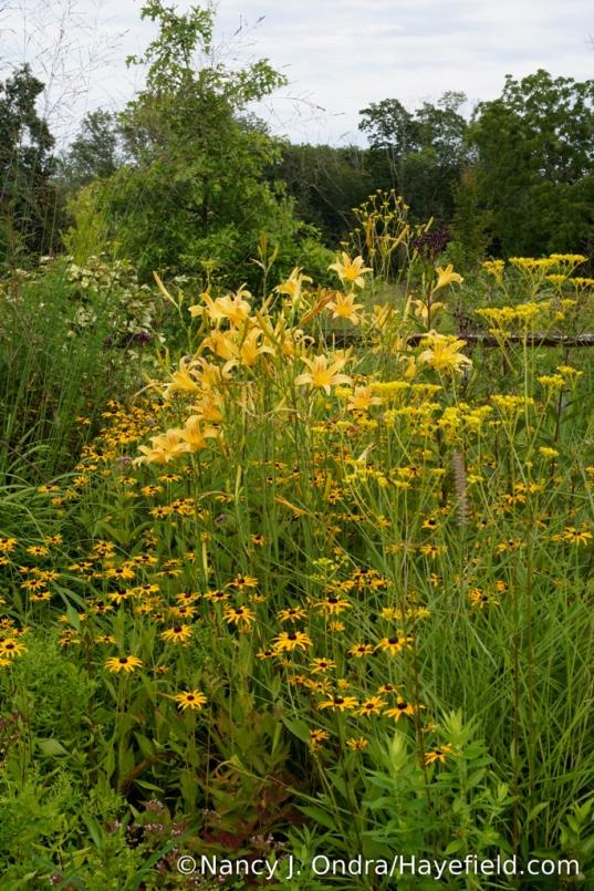 'Autumn Minaret' daylily (Hemerocallis) [Nancy J. Ondra/Hayefield.com]