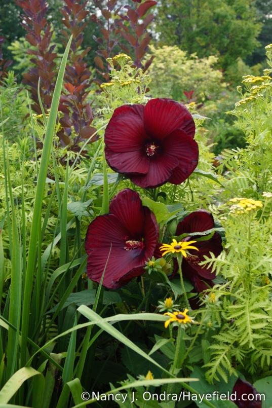 'Heartthrob' hardy hibiscus (Hibiscus)