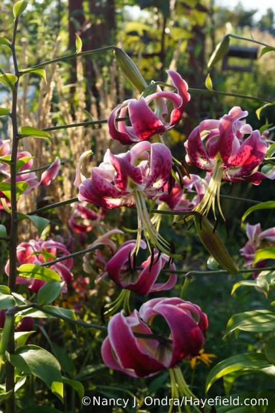 'Black Beauty' Orienpet lily (Lilium) [Nancy J. Ondra/Hayefield.com]