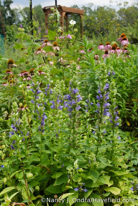 Great blue lobelia (Lobelia siphilitica) [Nancy J. Ondra/Hayefield.com]