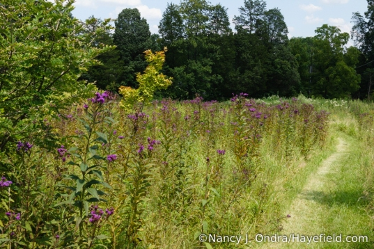 New York ironweed (Vernonia noveboracensis) [Nancy J. Ondra/Hayefield.com]