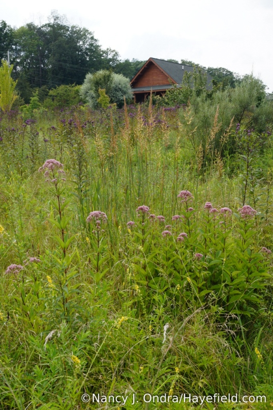 Joe-Pye weed (Eutrochium maculatum) with Indian grass (Sorghastrum nutans) in the lower meadow [Nancy J. Ondra/Hayefield.com]