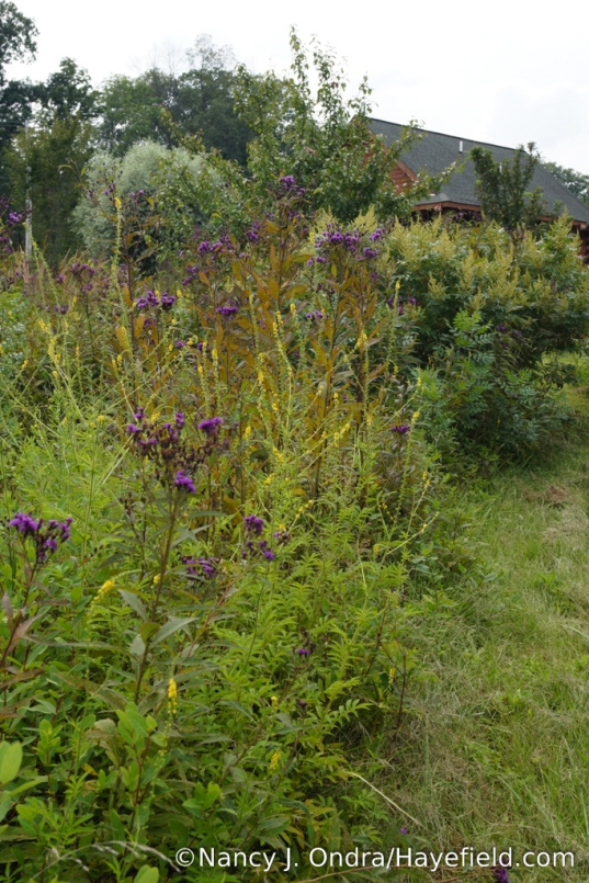 Small-flowered agrimony (Agrimonia parviflora) with New York ironweed (Vernonia noveboracensis) in the lower meadow [Nancy J. Ondra/Hayefield.com]