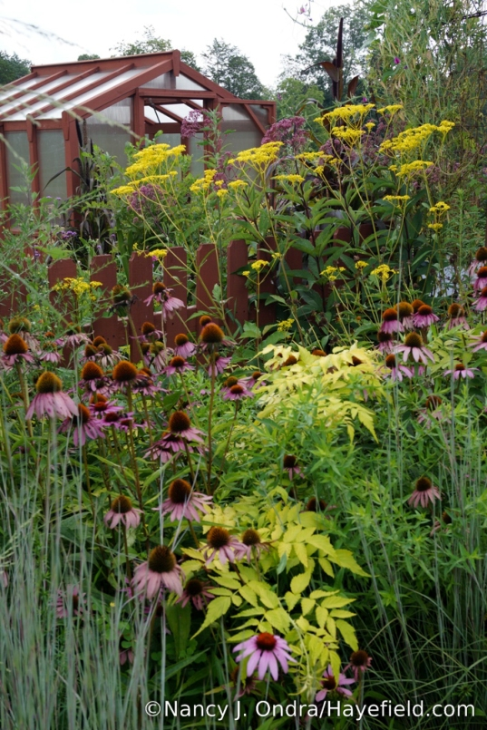 Golden lace (Patrinia scabiosifolia), purple coneflower (Echinacea purpurea), and 'Goldenvale' white-stemmed bramble (Rubus cockburnianus) [Nancy J. Ondra/Hayefield.com]