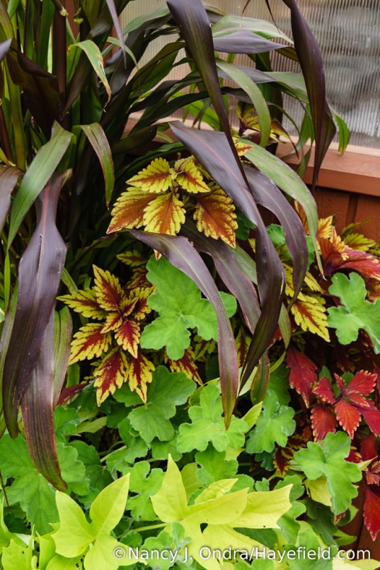Another container combo, with 'Jester' millet (Pennisetum glaucum), 'Spitfire' coleus, and peppermint geranium (Pelargonium tomentosum) [Nancy J. Ondra/Hayefield.com]