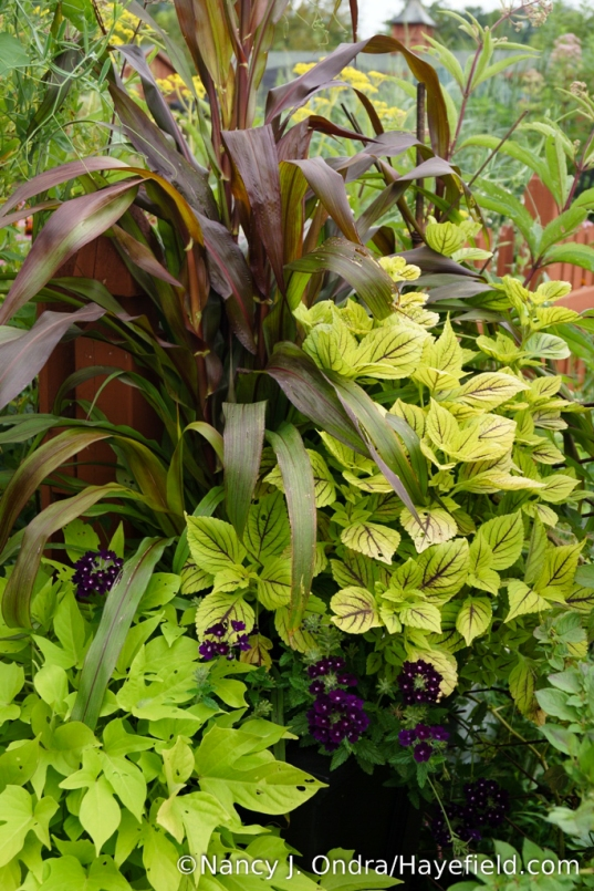 A container combination with 'Jester' millet (Pennisetum glaucum), 'Gay's Delight' coleus, 'Aztec Blue Velvet' verbena, and 'Sweet Georgia Light Green' sweet potato vine (Ipomoea batatas) [Nancy J. Ondra/Hayefield.com]