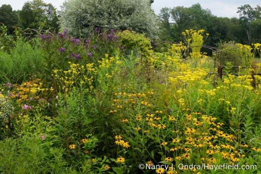 Orange coneflower (Rudbeckia fulgida var. fulgida), golden lace (Patrinia scabiosifolia), and New York ironweed (Vernonia noveboracensis) [Nancy J. Ondra/Hayefield.com]
