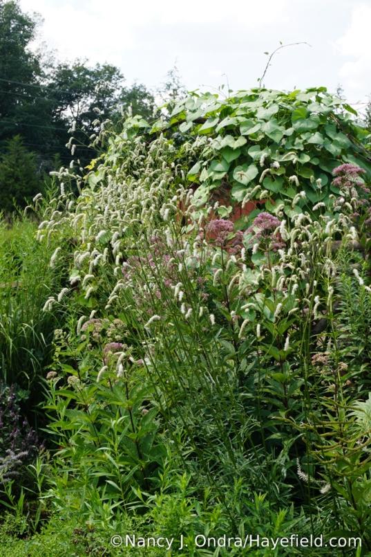 White Japanese burnet (Sanguisorba tenuifolia 'Alba') [Nancy J. Ondra/Hayefield.com]