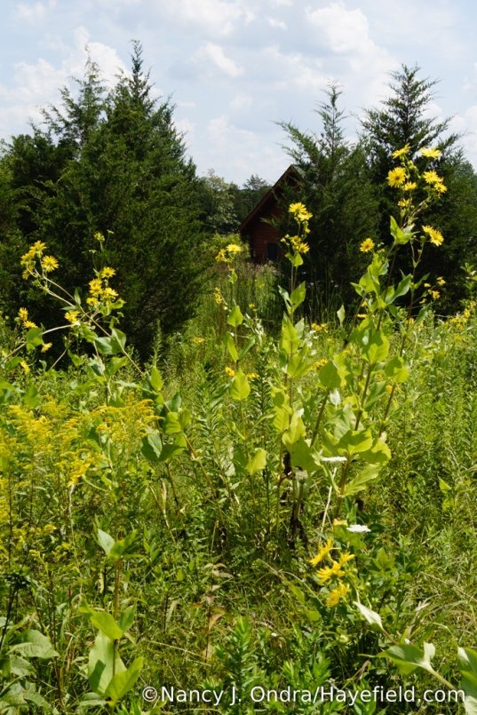 Compass plant (Silphium perfoliatum) in the upper meadow [Nancy J. Ondra/Hayefield.com]