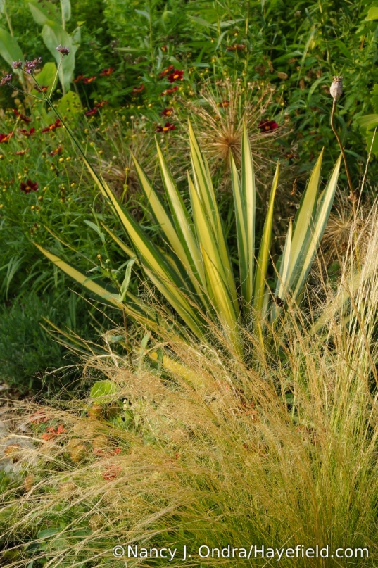 Mexican feather grass (Stipa tenuissima) with 'Color Guard' yucca [Nancy J. Ondra/Hayefield.com]