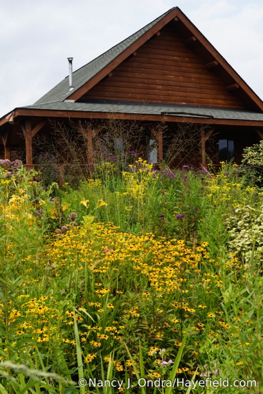 Orange coneflower (Rudbeckia fulgida var. fulgida) and 'Skyracer' purple moor grass (Molinia caerulea) [Nancy J. Ondra/Hayefield.com]