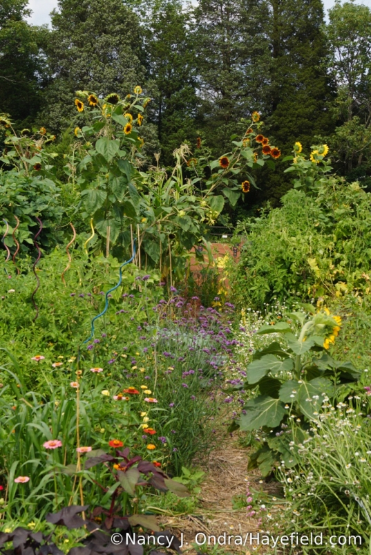 The Vegetable Garden at Hayefield - August 2017 [Nancy J. Ondra/Hayefield.com]