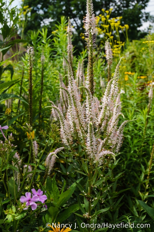 'Erica' Culver's root (Veronicastrum virginicum) [Nancy J. Ondra/Hayefield.com]
