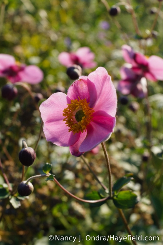 'September Charm' Japanese anemone (Anemone x hybrida) [Nancy J. Ondra/Hayefield.com]