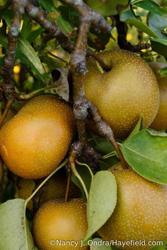 It was a great year for the Asian pears! [Nancy J. Ondra/Hayefield.com]