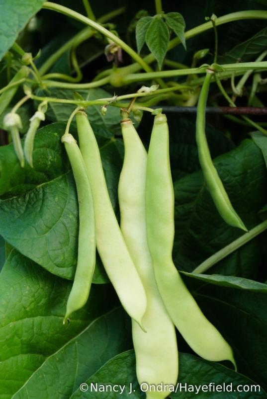 'Merveille de Venise' pole bean (Phaseolus vulgaris): tremendously productive in mid- to late summer [Nancy J. Ondra/Hayefield.com]