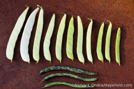 One of the best things about 'Merveille de Venise' pole bean is that you can pick the pods at a range of sizes, so it's okay if you have to skip harvesting for a day or two. For comparison, I included a few pods of 'Penndragon' at the usual harvest size. [Nancy J. Ondra/Hayefield.com]